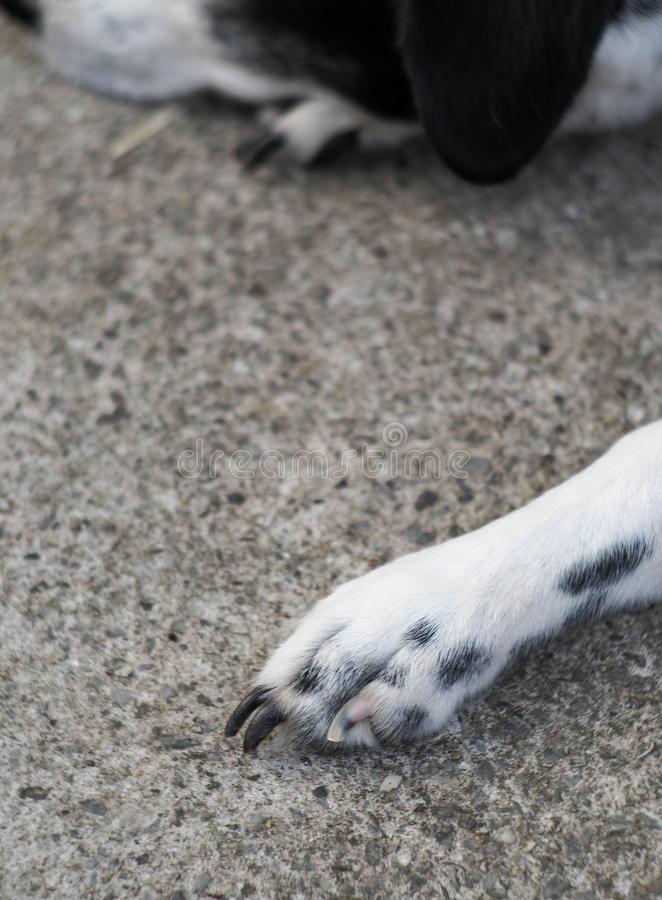 Dots dog paw with black long nails of an old thin sick dalmatian dog. Laying and sleeping on garage floor outdoor under summer sunlight stock photo