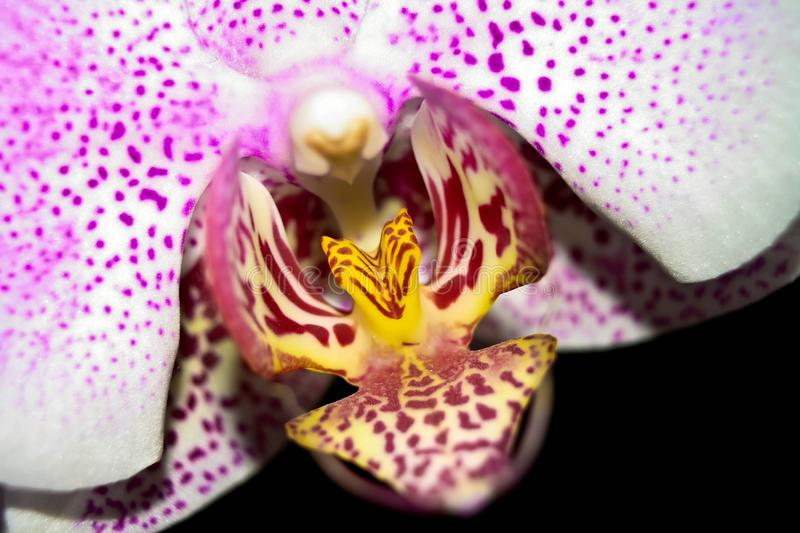 Dotted Fuschia Orchid Close up stock photo