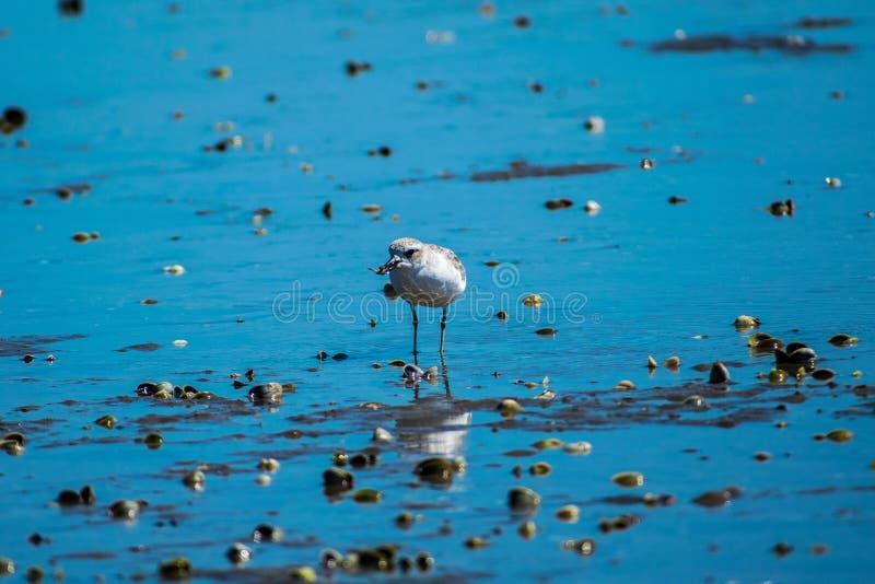 Dotteral fågel i breda flodmynningen arkivbild