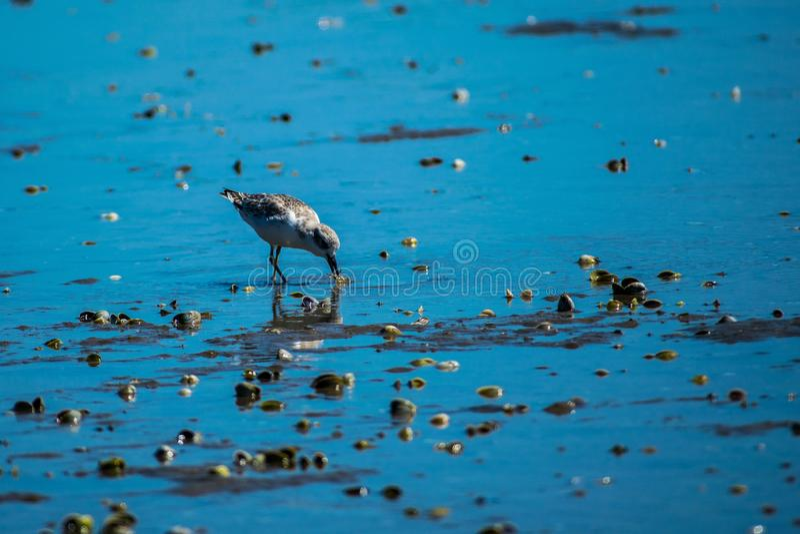 Dotteral fågel i breda flodmynningen arkivbilder