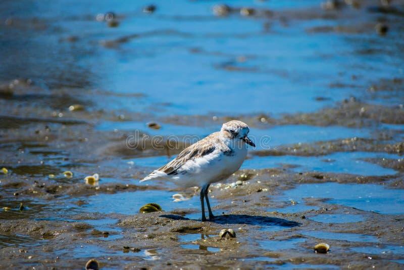 Dotteral fågel i breda flodmynningen royaltyfria foton