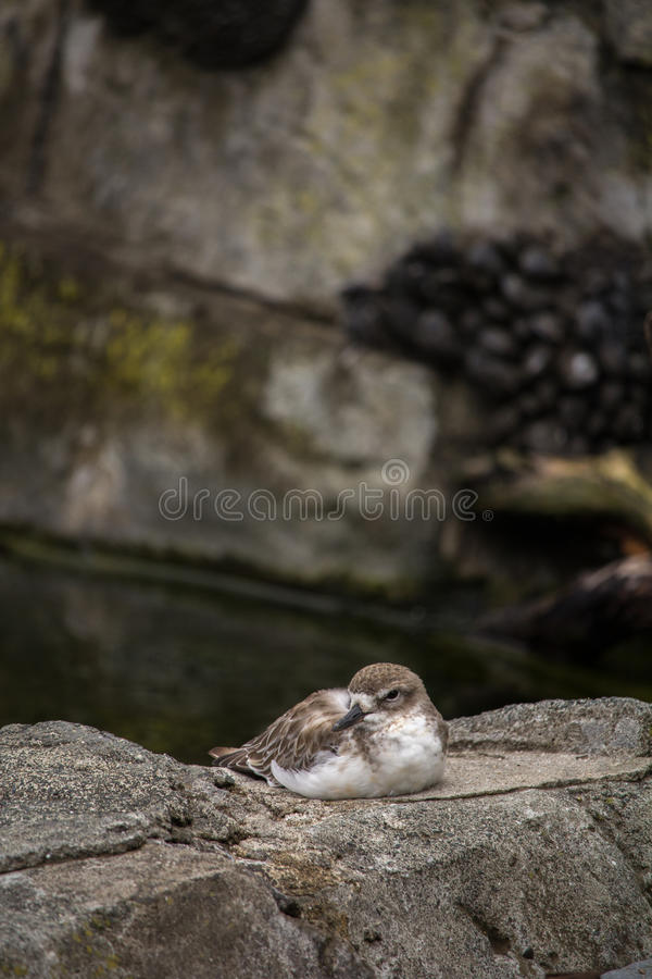 Dotterel Sitting on Rock. New Zealand Native Dotterel Tuturiwhatu Sitting on Rock Vertical with Copy Space royalty free stock photos