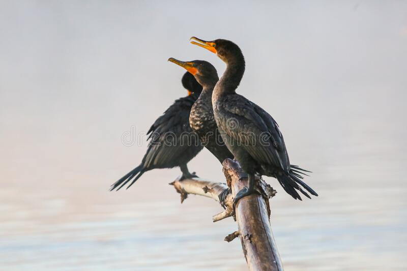 Double Breasted Cormorant at a Misty Lake stock photos