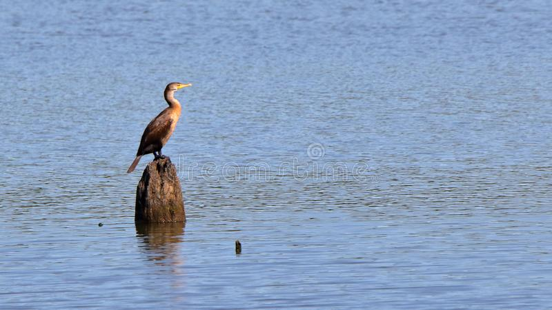 Double breasted cormorant perched on a post. In a lake with ripples stock image