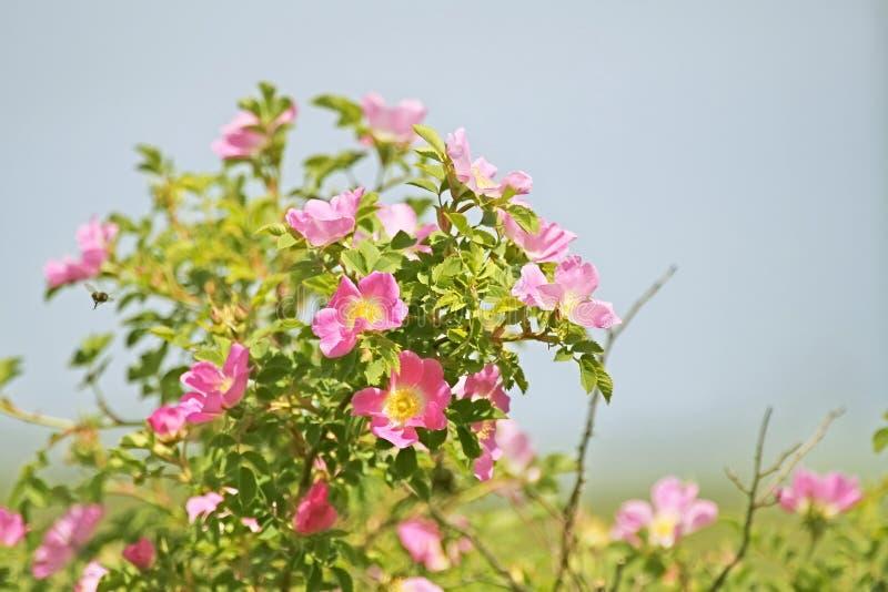 Double cannelle Rose, majalis de Rosa photographie stock