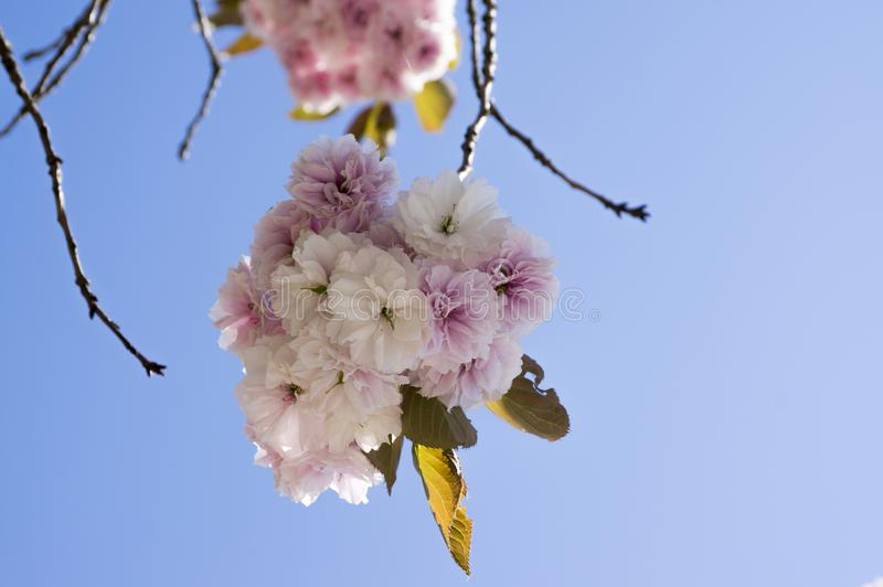 Double cherry blossoms, spring. Blossoms Sakura flowers stock image