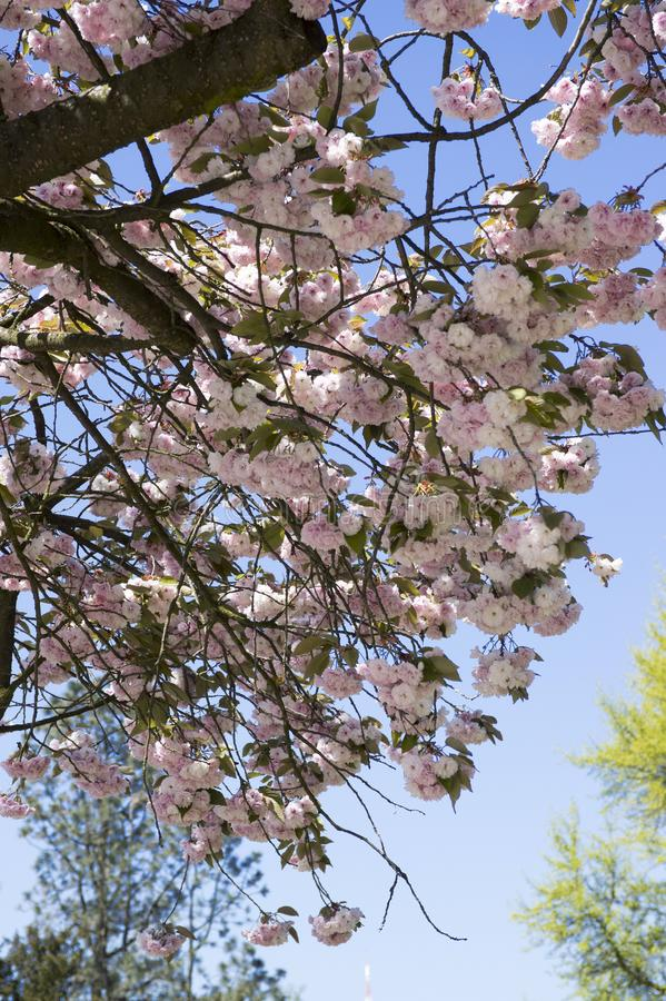 Double cherry blossoms, spring. Blossoms Sakura flowers stock photography