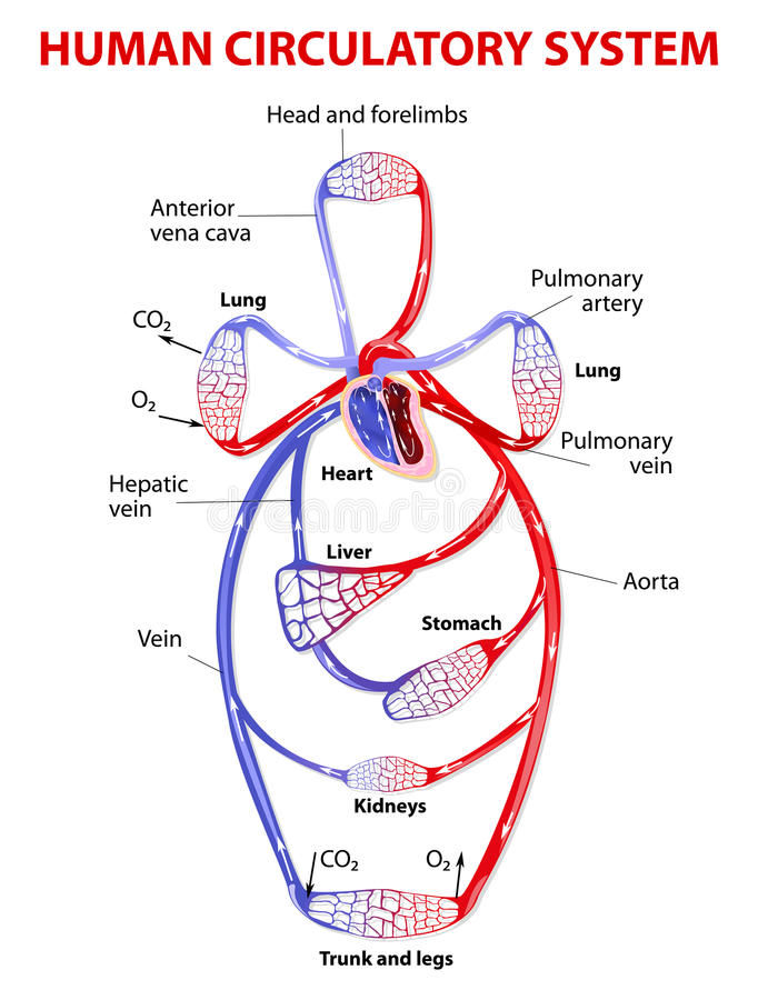 Double circulatory system. The cardiovascular circulatory system transports food, hormones, metabolic wastes, and gases (oxygen, carbon dioxide) to and from vector illustration