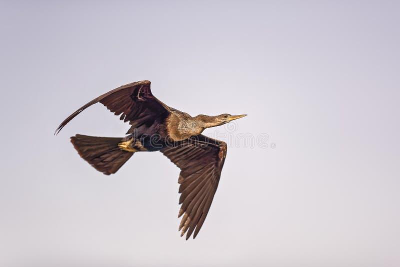 Double cormoran crêté image stock