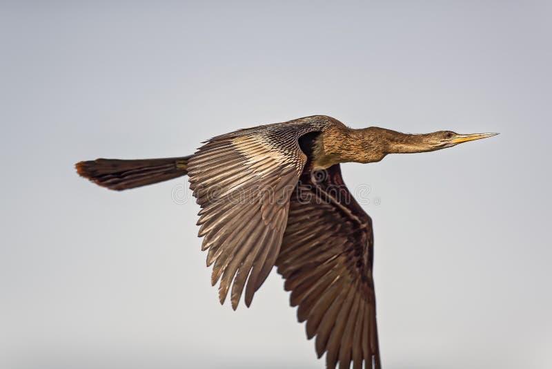 Double cormoran crêté images libres de droits