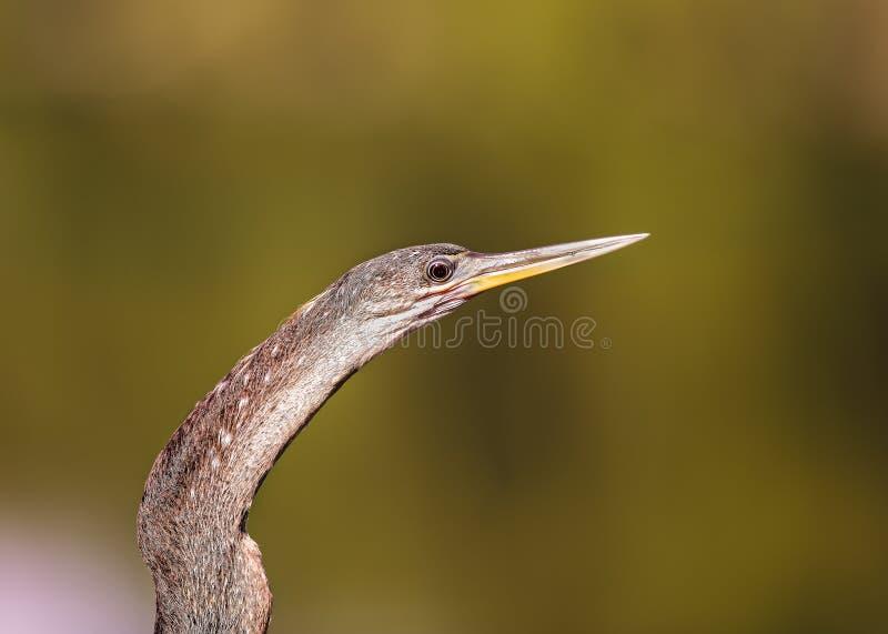 Double cormoran crêté photos libres de droits