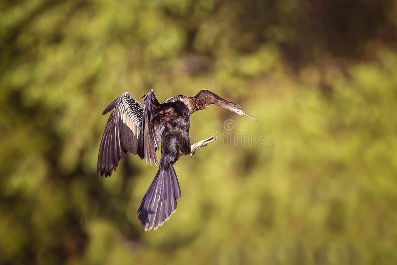 Double cormoran crêté image libre de droits
