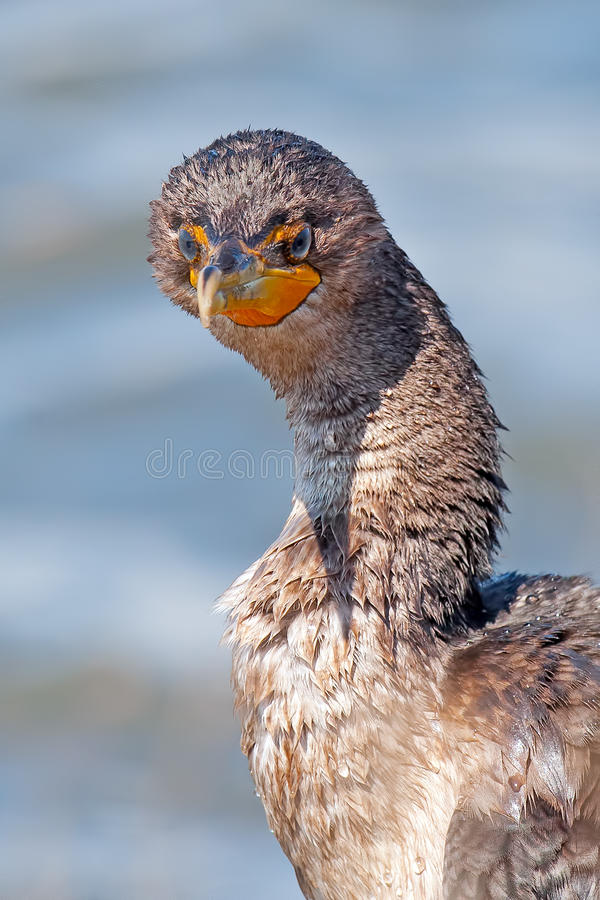 Download Double Crested Cormorant stock photo. Image of swim, beautiful - 24339432