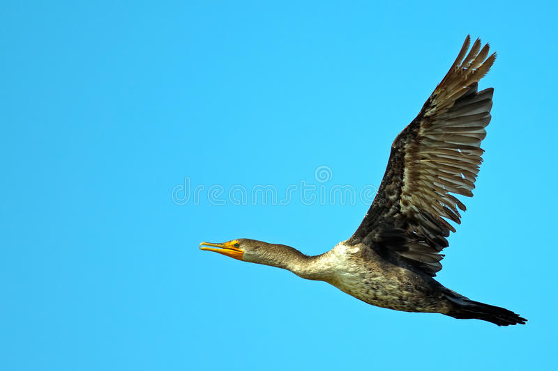 Download Double Crested Cormorant stock photo. Image of ocean - 25905540