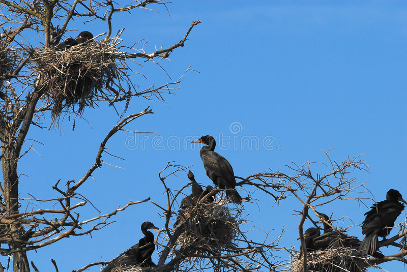 Download Double-crested Cormorant Stock Photos - Image: 4542863