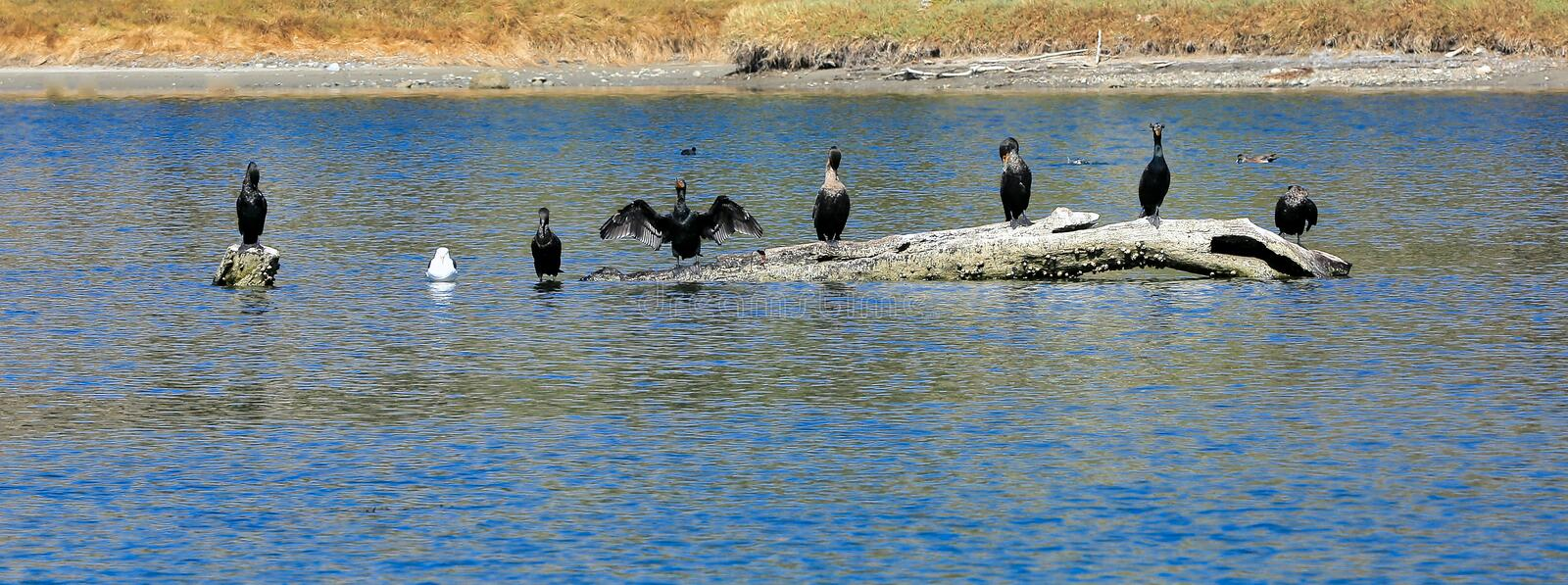 Double-crested Cormorant Birds driftwood stock image