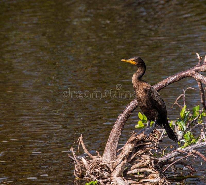 Beautiful double crested cormorant duck. Double crested cormorant duck on branch near smooth water of lake royalty free stock photography