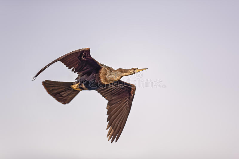 Double Crested Cormorant stock image