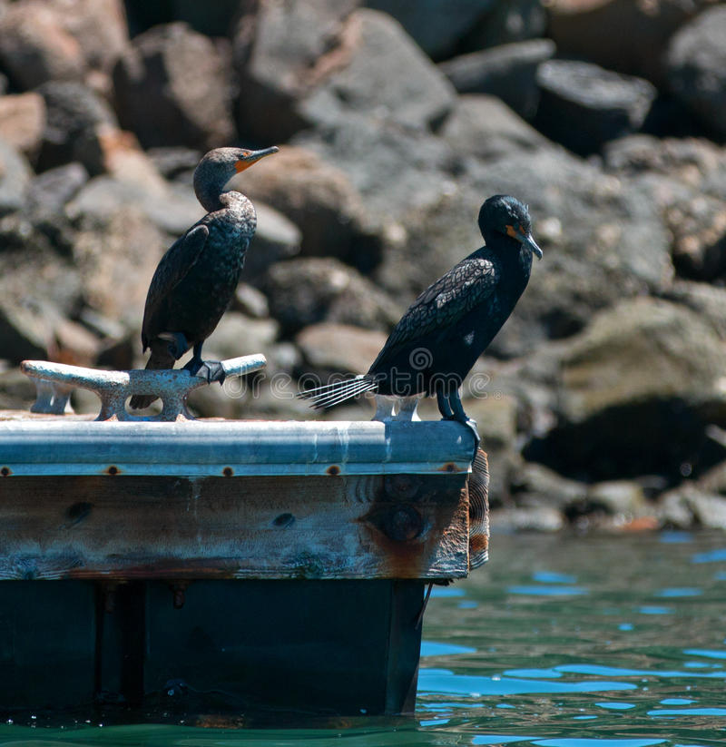 Double-crested Cormorant pair on dock in Alamitos Bay / Channel in Long Beach California. USA stock photography