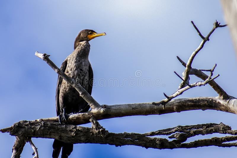 Double Crested Cormorant Perched on a Limb royalty free stock photos
