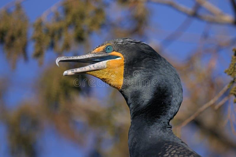 Download Double-crested Cormorant, Phalacrocorax Auritus Stock Photo - Image: 11752636