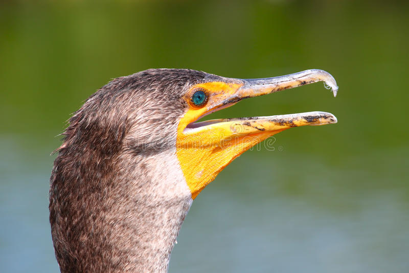 Double-crested cormorant (Phalacrocorax auritus). Closeup of a Double-crested cormorant (Phalacrocorax auritus) on the Anhinga Trail of Everglades National Park royalty free stock photos