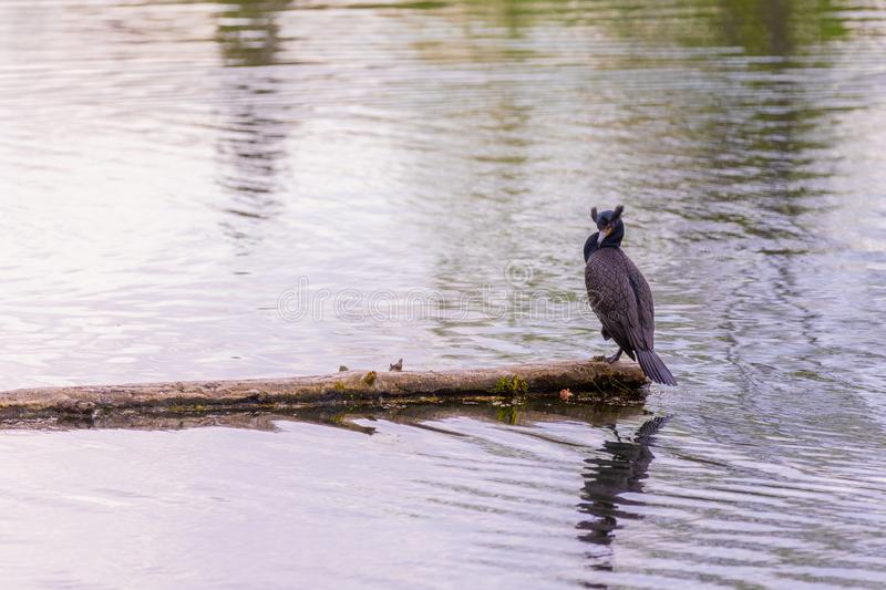Double-crested cormorant sitting of a log in the middle of a lake. With his head turned left stock photo