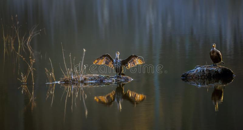 Double-Crested Cormorants on a Chesapeake Bay pond enjoying the. Two Cormorants basking in the sun on a Chesapeake bay lake in Maryland during Winter royalty free stock photo