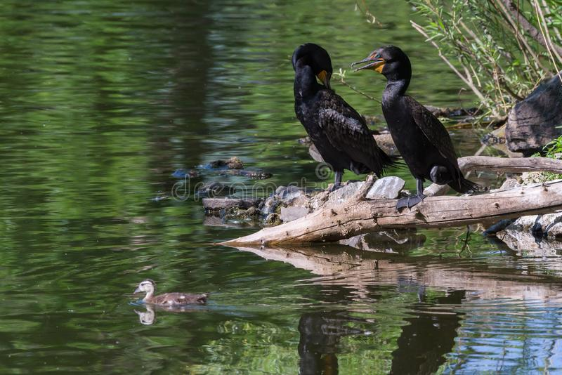 Wildlife of Colorado - Double-Crested Cormorants Watch a Wood Duckling Swim By. Double-Crested Cormorants Perched On A Log With Wood Duckling Swimming By stock photo