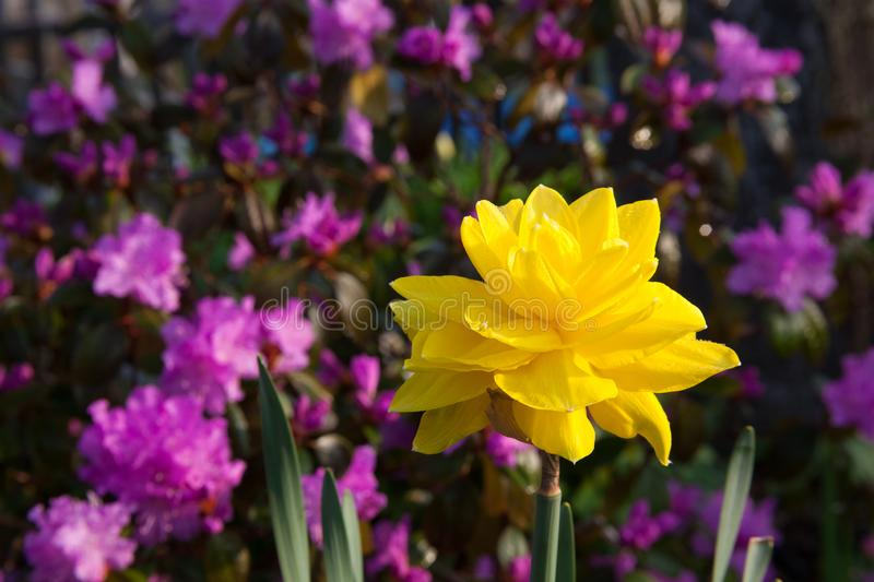 Double Daffodil backed up by a Rhododendron. Bright yellow double daffodil is backed up by the violet blossoms of its neighbor Rhododendron stock photography