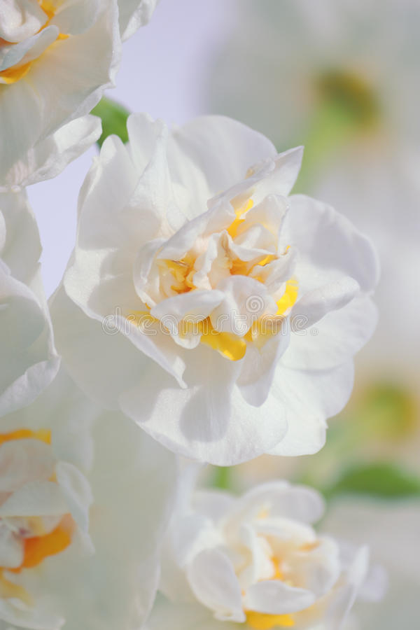 Double daffodil (narcissus). Closeup of beautiful double daffodil (narcissus royalty free stock photos