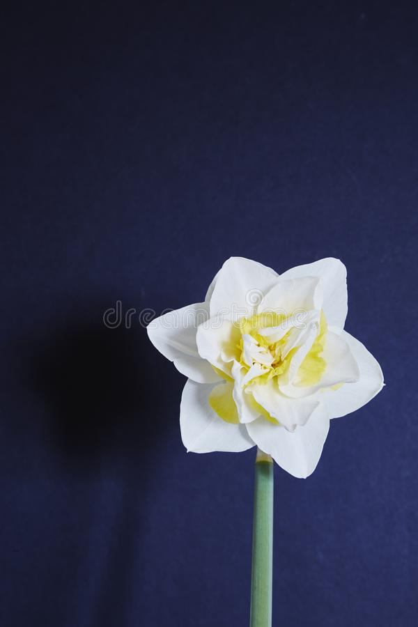 Double daffodil. A double daffodil,Narcissus,white and orange,head with a black background stock photography