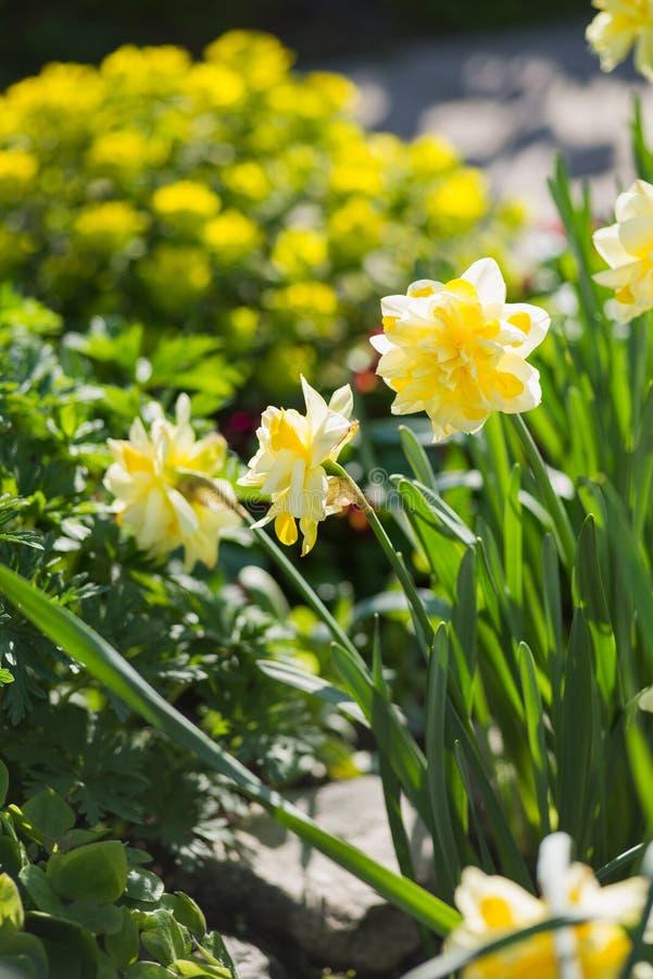 Double daffodils stock image