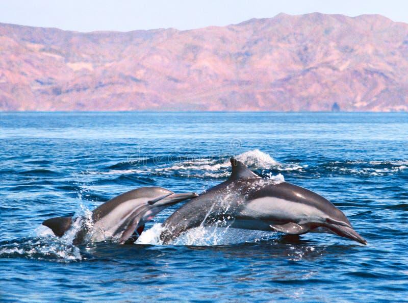 Double Dolphin stock photos