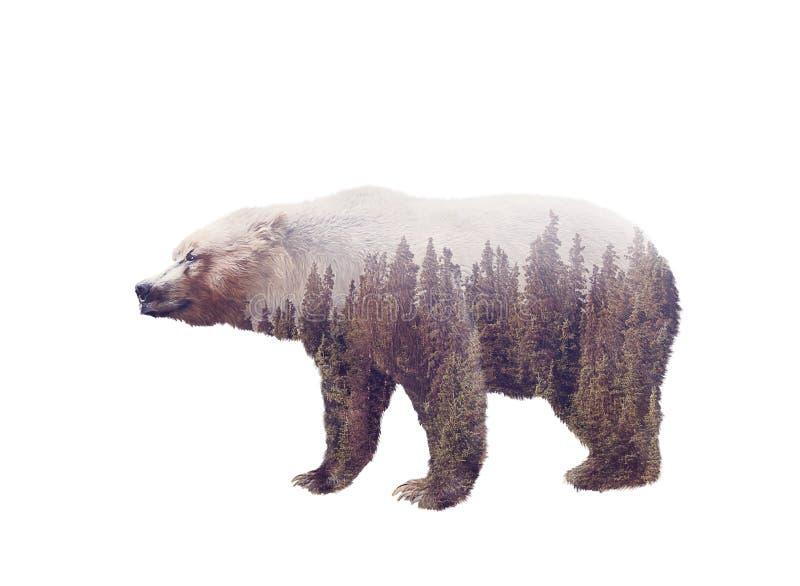 Double exposition d'un ours sauvage et d'une forêt de pin images libres de droits