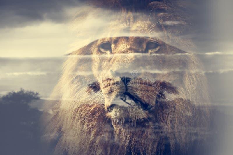 Double exposure of lion and Mount Kilimanjaro savanna landscape. stock photography