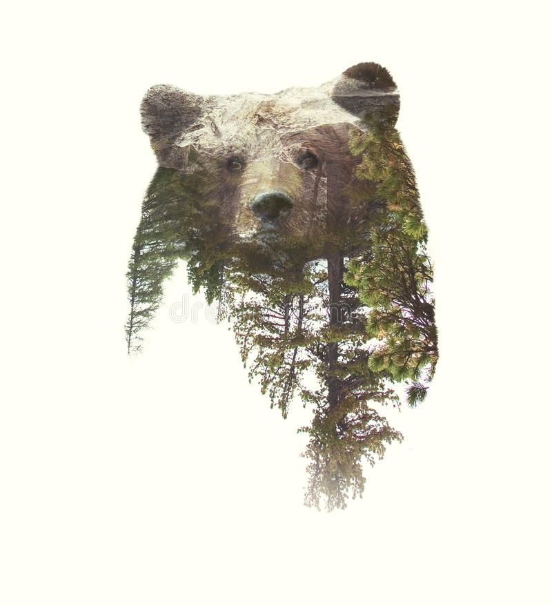 Double Exposure Portraits of Bear and Green Forest royalty free stock image