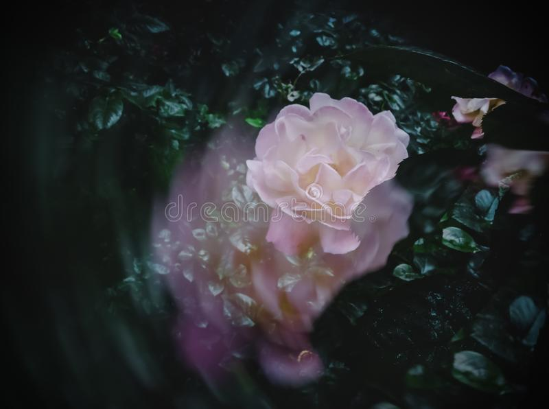 Double exposure and that`s what a beautiful rose turned out. Beatuful rose royalty free stock photo