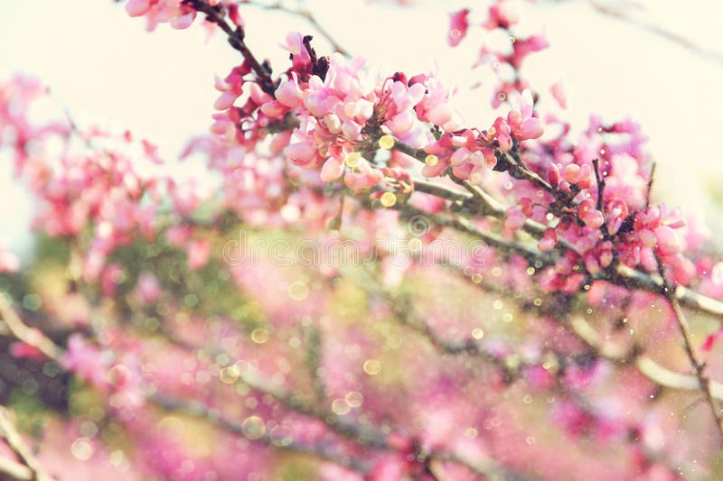 Double Exposure Of Spring Cherry Blossoms Tree Abstract