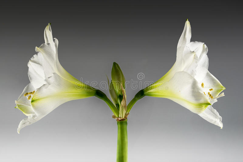 Double floraison blanche de Hippeastrum de fleur d'amaryllis symétrique image stock