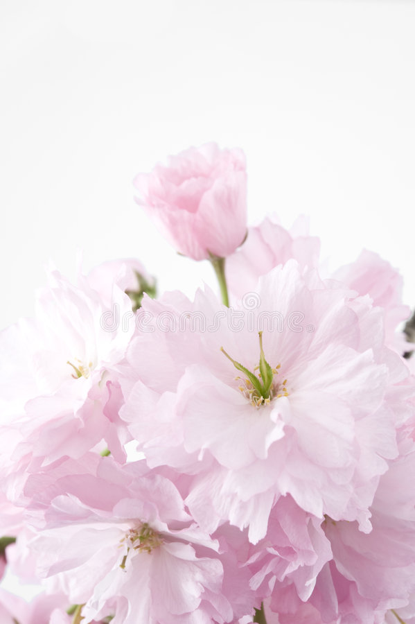 Download Double-flowered Cherry Blossom Stock Photo - Image of studio, double: 9032386