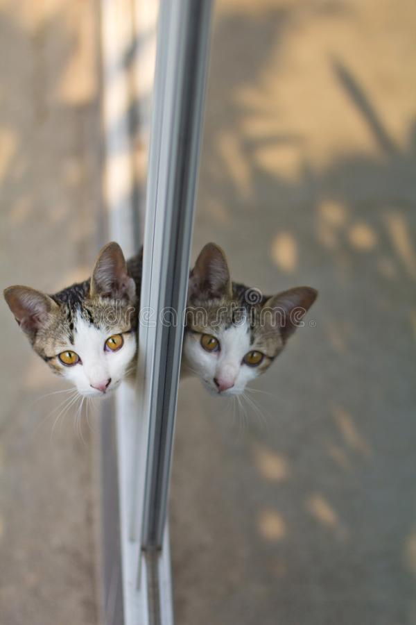 Double head cat by mirror reflection. Double head cats. Reflection of glass door like two head cat stock images