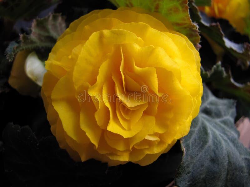 Double jaune-foncé Impatiens image libre de droits