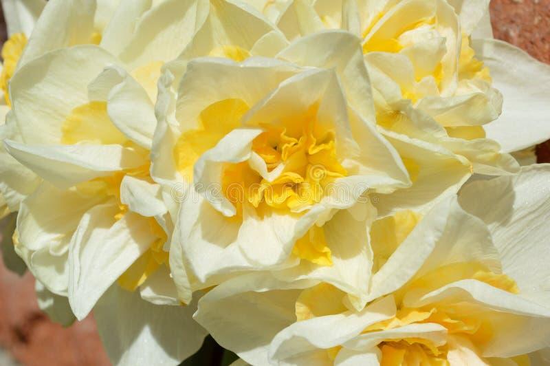 Double jonquille Narcissus White de plan rapproché et fond jaune de mur de briques de bouquet image libre de droits