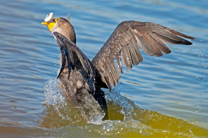 Double krönad Cormorant arkivfoto