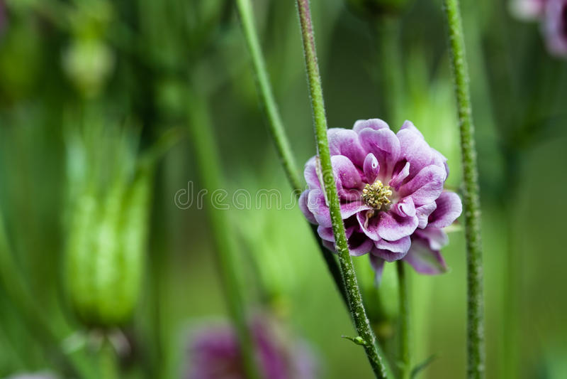 Double primevère de fleur, Primula, Lavendar pâle images libres de droits