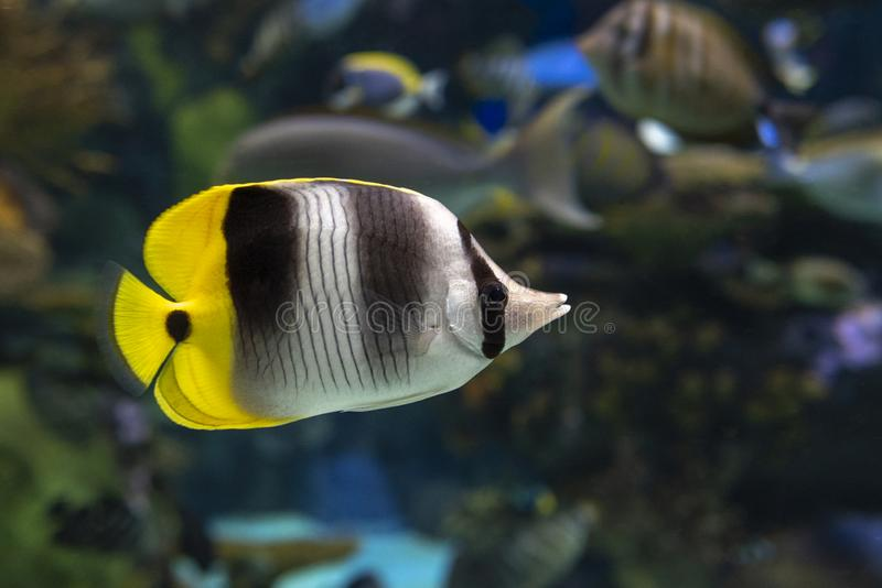 Double-saddle Butterflyfish - Chaetodon ulietensis,tropical coral fish. Close up royalty free stock image
