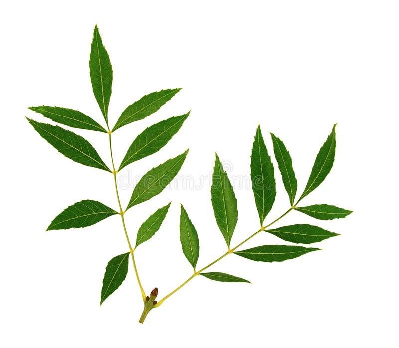 Double stems of ash leaves. Regular distribution of ash leaves on the double stem. White background stock photo