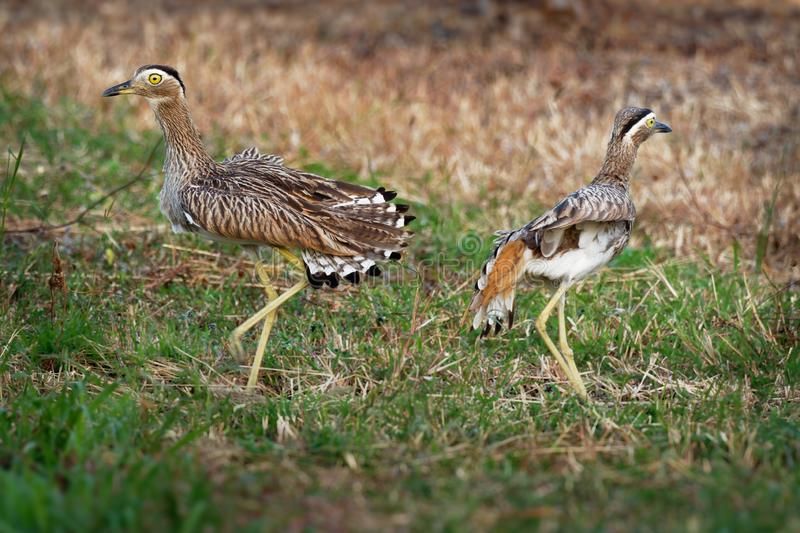 Double-striped Thick-knee - Burhinus bistriatus is stone-curlew family Burhinidae, resident breeder in Central and South America stock photos