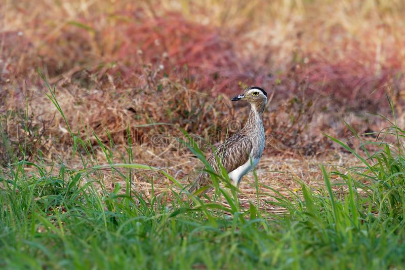 Double-striped Thick-knee - Burhinus bistriatus is stone-curlew family Burhinidae, resident breeder in Central and South America royalty free stock photos